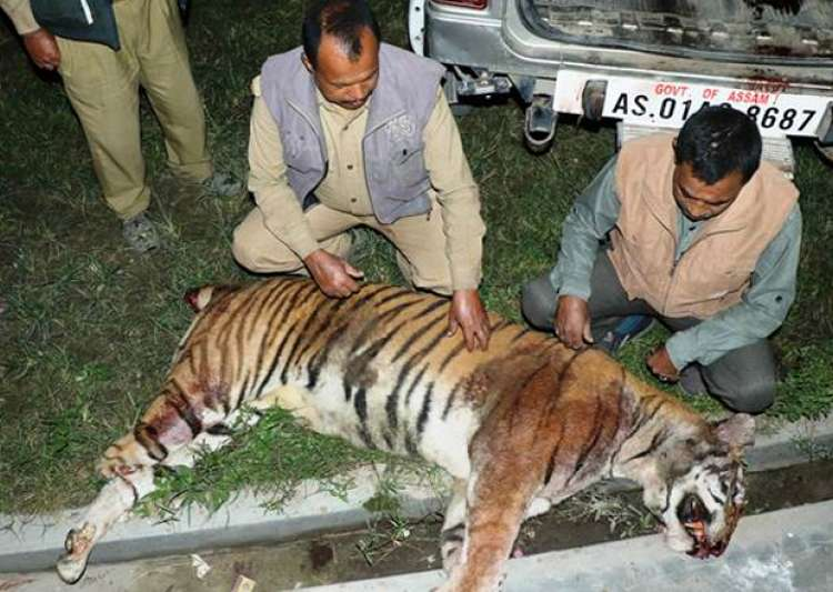 Forest officials examining the carcass of tiger killed by- India Tv