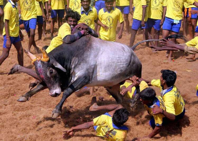 SC rejects plea to allow Jallikattu, says 'can't- India Tv