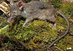 near toothless rat discovered in indonesia