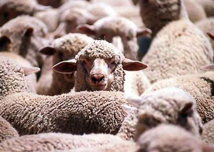 importer in pakistan seeks to stop culling of 20 000 australian sheep- India Tv