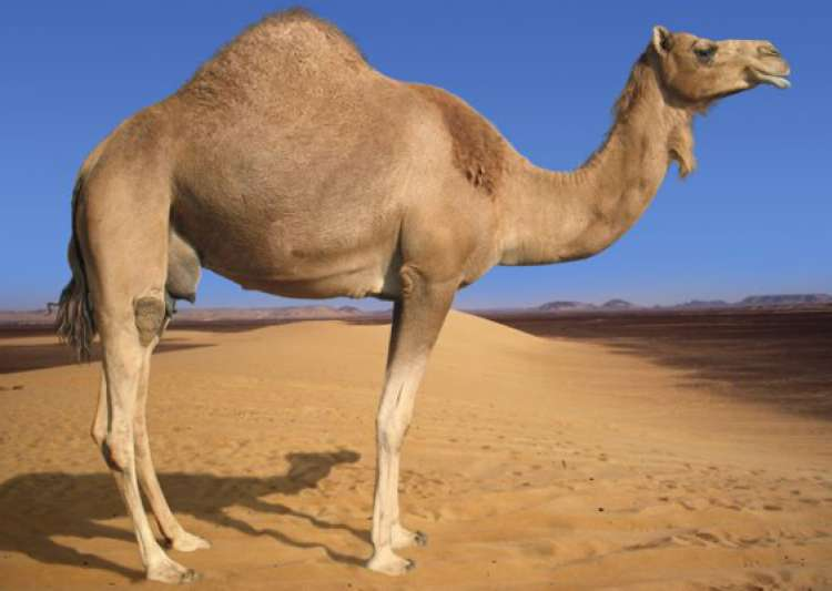 camel dung can be used as mosquito repellent- India Tv