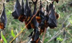 Bats, unlike other mammals, do not show dependence on gut