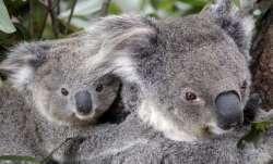 More than 2,000 koalas killed in Australia bushfires