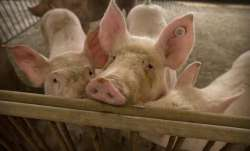 6 reasons why new swine flu virus in China is a serious worry