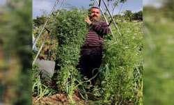 Uttarakhand farmer's tallest coriander plant enters Guinness Book of World Records