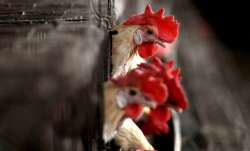 Delhi Poultry Markets, Bird Flu, Chicken, Poultry Markets