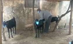 COVID19 pandemic, Maharashtra villagers, goats wearing face masks, coronavirus fear, nanded district