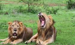 Lion, Etawah Safari Park, COVID test positive, coronavirus pandemic, covid updates, covid second wav